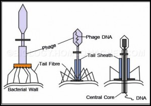 Absorption and Penetration in Bacteriophage
