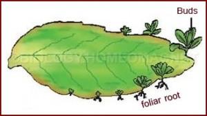 Foliar Roots