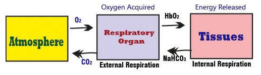 Internal and External Respiration