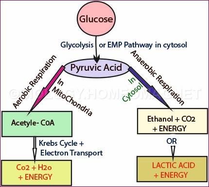 Respiration of aerobic and anaerobic