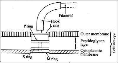 Attachment of Flagella