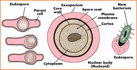 Asexual reproduction bacteria cell images