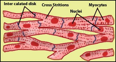 Heart muscle cell