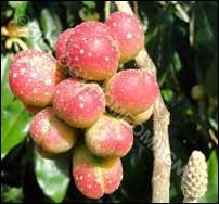 Magnolia Fruits