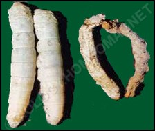 Flacherie infected silkworm