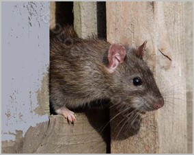 Rat at the home