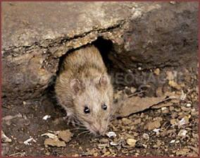 Soil dig by rat