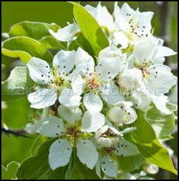 Self pollination of pear tree