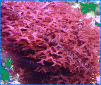 red-algae