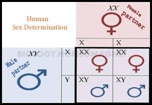 chromosomal theory of sex determination